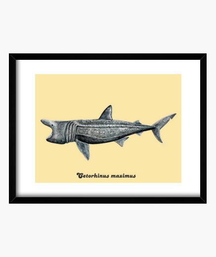 Cuadro Tiburón peregrino (Cetorhinus maximus)
