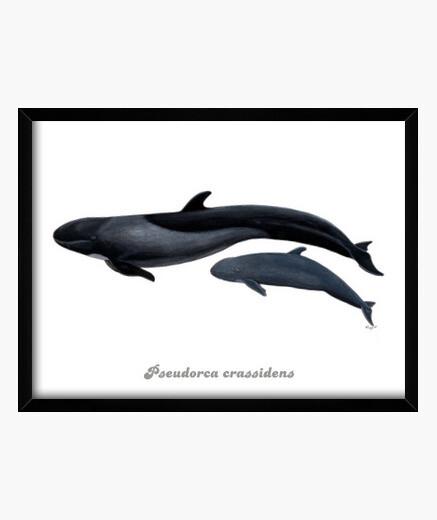 Falsa orca cuadro