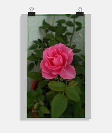 """Rosa"", Póster vertical, McHarrell original."