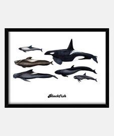 blackfish: orche e balene pilota quadro