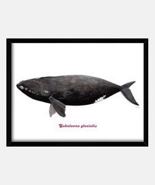boîte de franca baleine atlantique