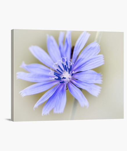 Chicory canvas