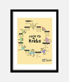 ciclo di krebs (fondi chiari)