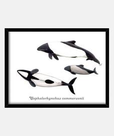 Cuadro Delfin de Commerson tonina overa