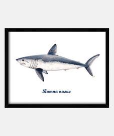Cuadro Tiburón cailón (Lamna nasus)
