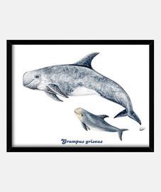 Delfín de Risso calderón gris Cuadro