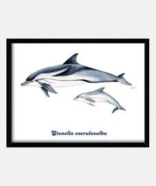 Delfín listado (Stenella coeruleoalba) cuadro