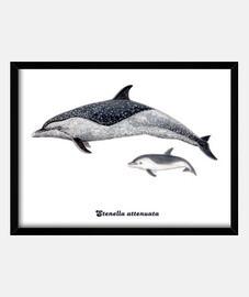 Delfín moteado pantropical cuadro
