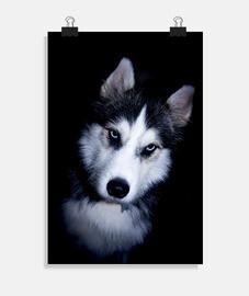 husky en colère