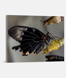 Lienzo Mariposa 3