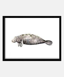 manati kasten (trichechus manatus)