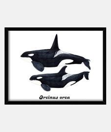 Orca duo (Orcinus orca) cuadro