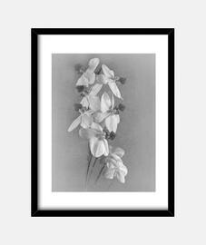 orquidea bw