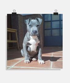 Pitbull blue poster