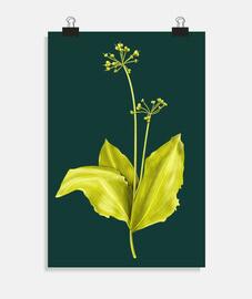 planta de ajo silvestre arte botanico