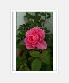 rose, frame with vertical white frame, original mcharrell.