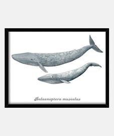 scatola blu balena (balaenoptera musculus)