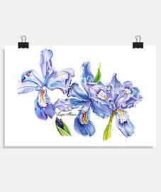 trío de iris
